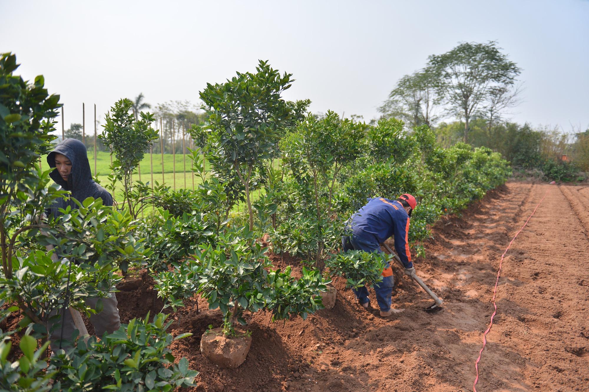 """Hàng nghìn cây quất tiền triệu nằm im trên vườn vì ế sau Tết, người Hà Nội """"ôm đống nợ"""", chẳng buồn ra đồng - Ảnh 10."""