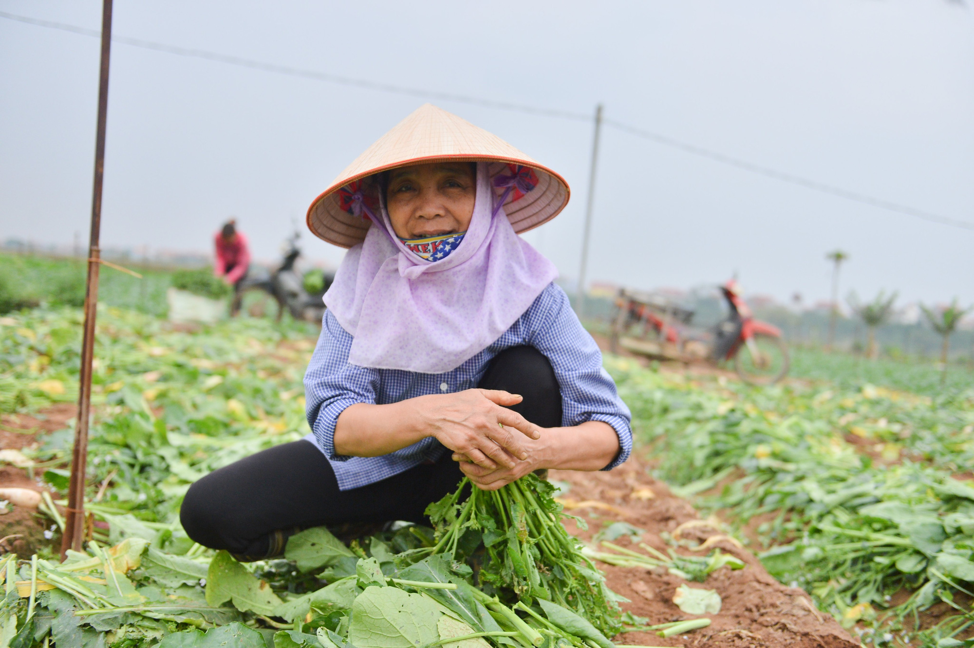 Sau Hải Dương, hàng trăm tấn củ cải ở Hà Nội rớt giá, người dân phải nhổ bỏ vì bán không ai mua - Ảnh 4.