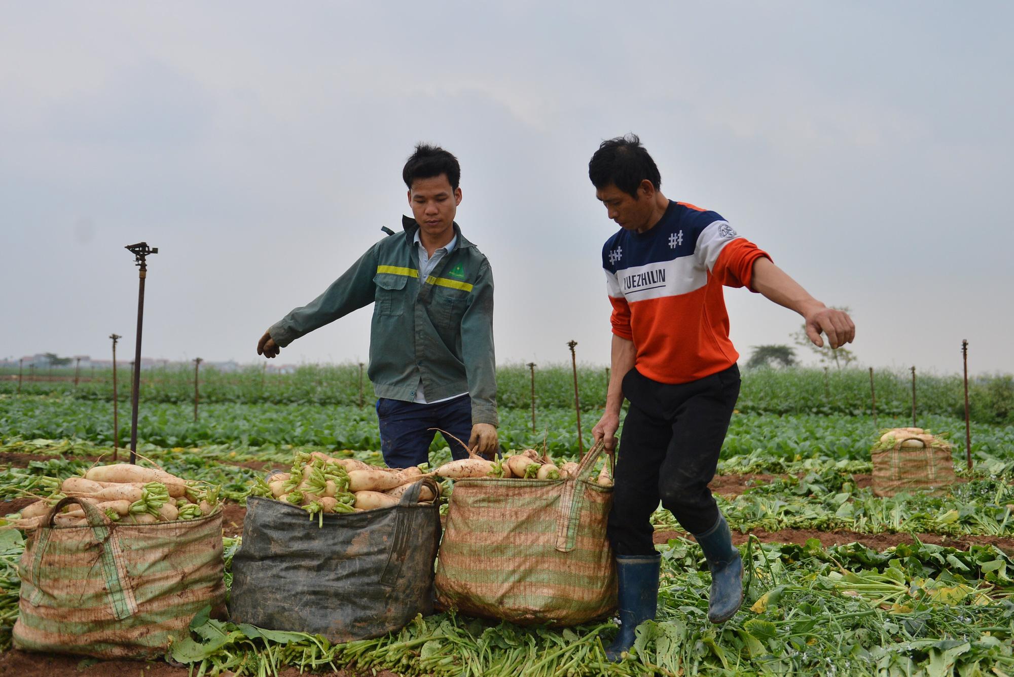 Sau Hải Dương, hàng trăm tấn củ cải ở Hà Nội rớt giá, người dân phải nhổ bỏ vì bán không ai mua - Ảnh 10.