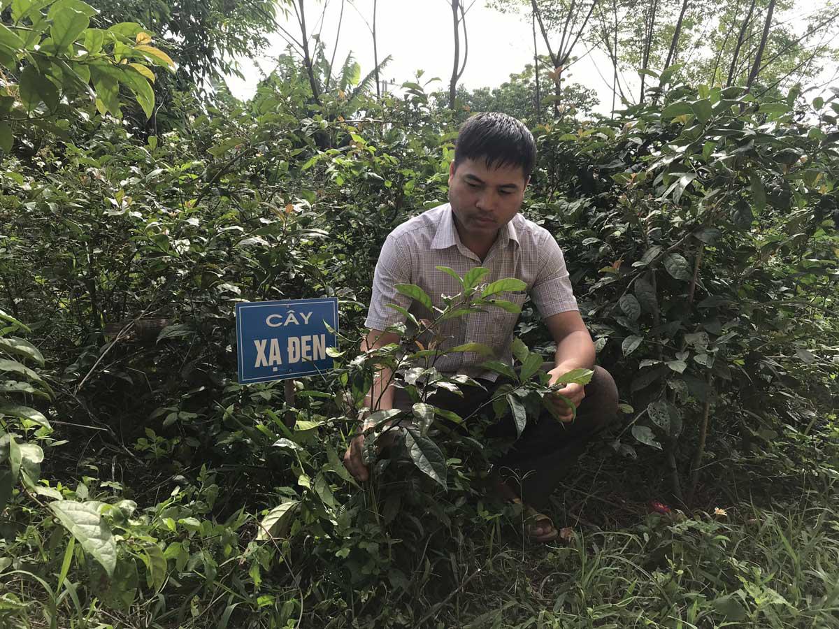 Hòa Bình: Nông dân vùng này trồng 2 loài cây gì mà các nhà thuốc Đông y tới tấp đặt mua cả lá cả thân? - Ảnh 1.