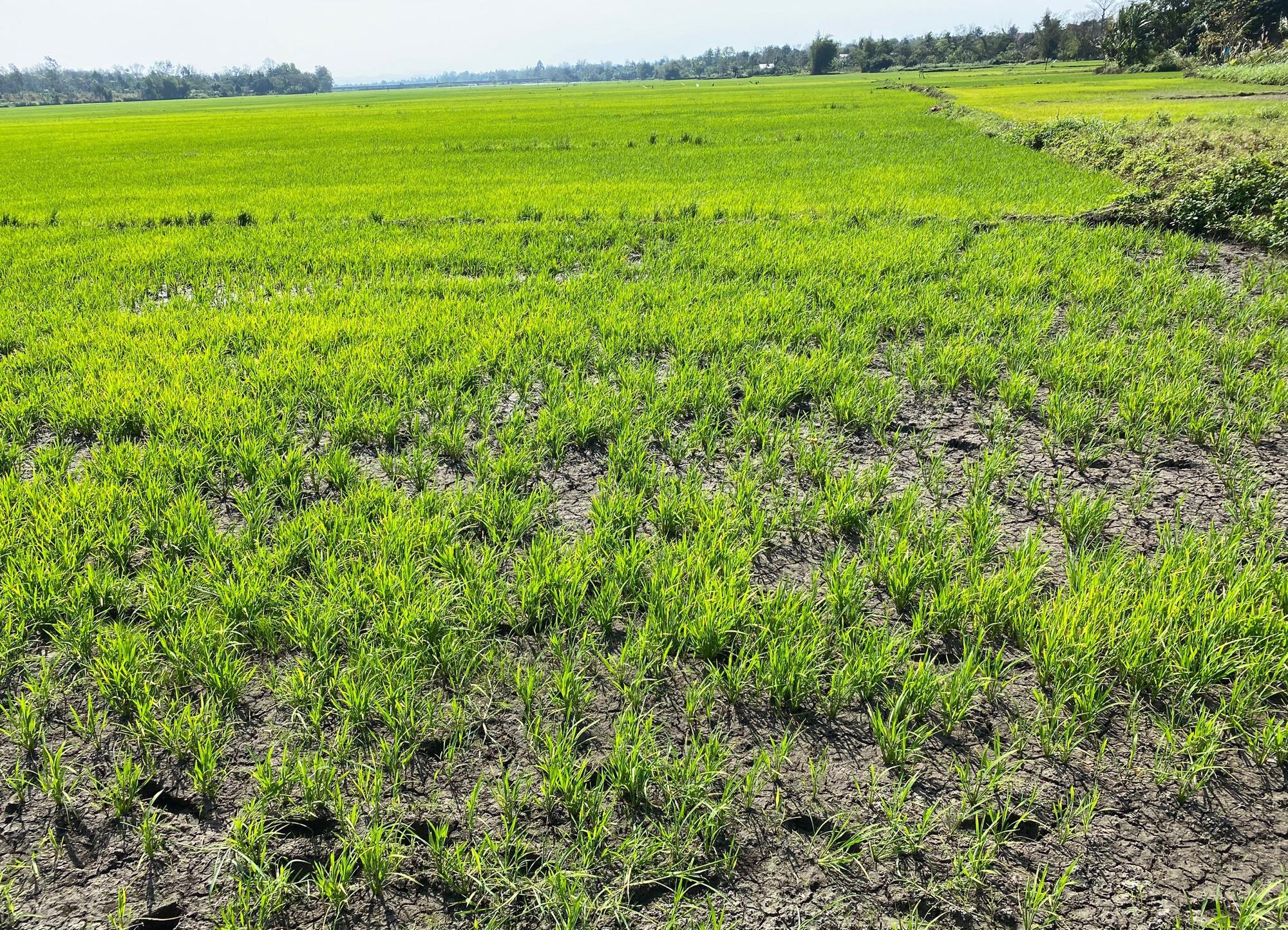 Đắk Lắk: Huyện quyết làm kênh dẫn thấp hơn mặt ruộng rồi… bỏ hoang - Ảnh 2.