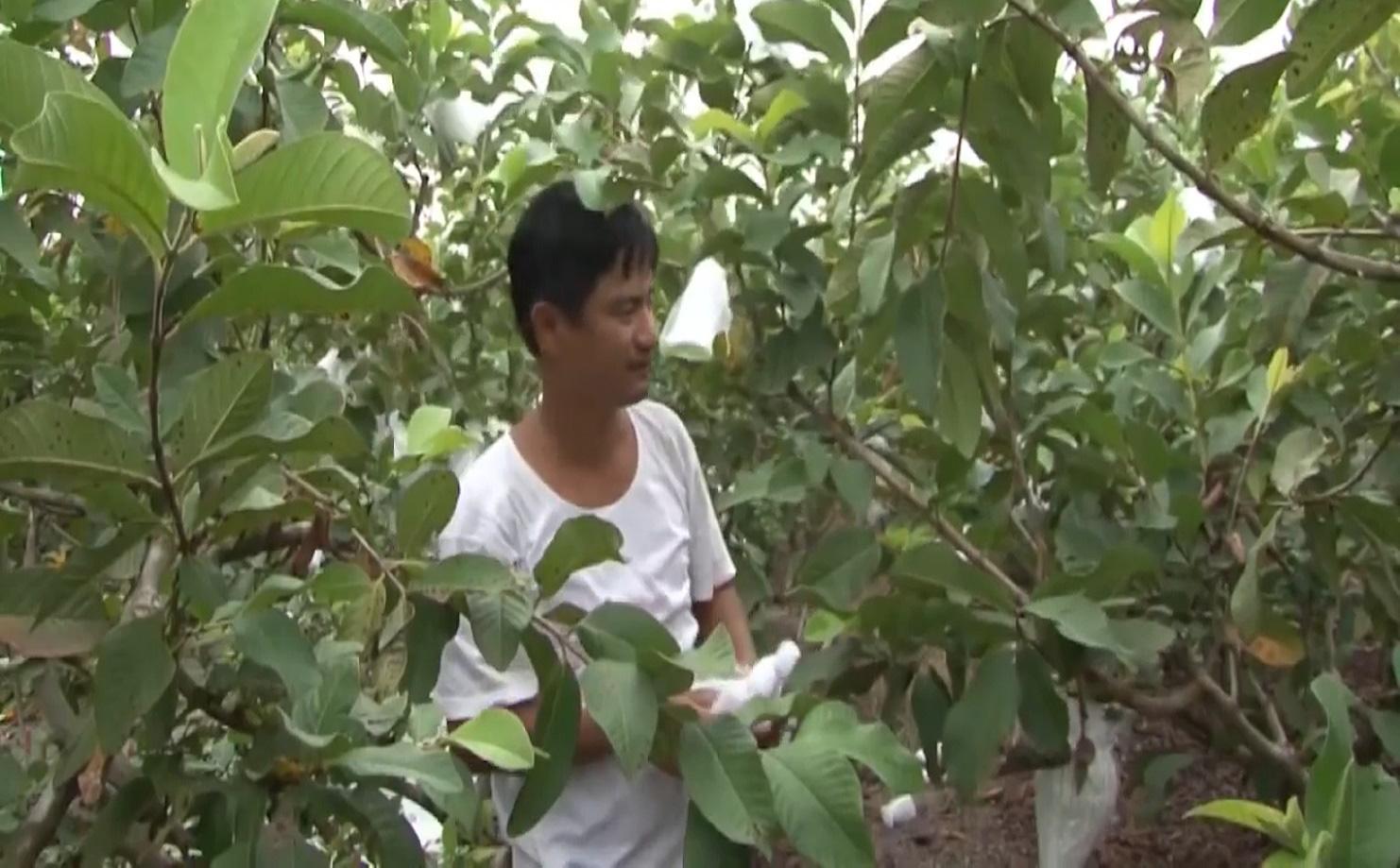 Anh nông dân trồng ổi theo quy trình VietGAP, vườn ổi ngày nào cũng sai trái hơn, đầu ra cũng ngày càng thuận lợi - Ảnh 4.