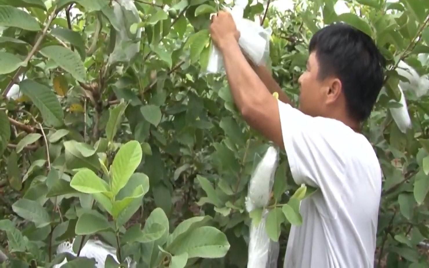 Anh nông dân trồng ổi theo quy trình VietGAP, vườn ổi ngày nào cũng sai trái hơn, đầu ra cũng ngày càng thuận lợi - Ảnh 3.