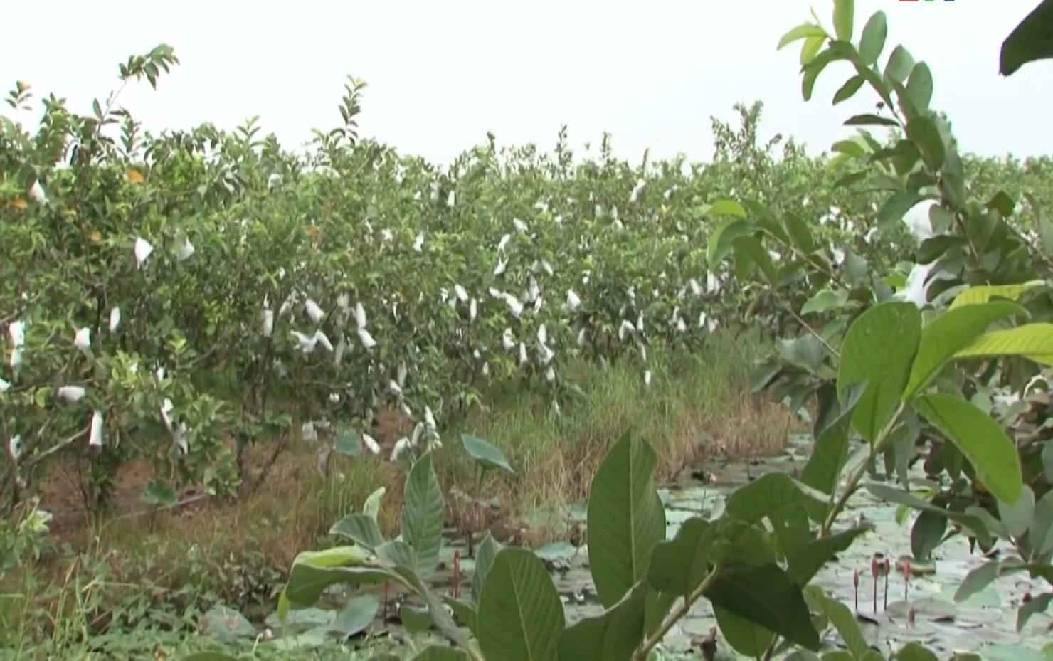 Anh nông dân trồng ổi theo quy trình VietGAP, vườn ổi ngày nào cũng sai trái hơn, đầu ra cũng ngày càng thuận lợi - Ảnh 2.