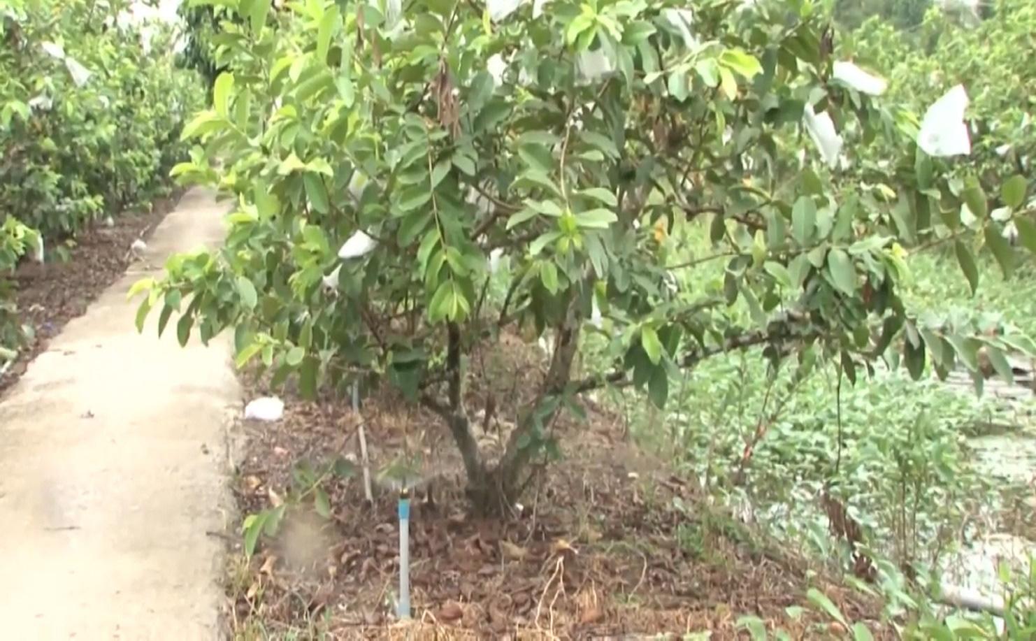 Anh nông dân trồng ổi theo quy trình VietGAP, vườn ổi ngày nào cũng sai trái hơn, đầu ra cũng ngày càng thuận lợi - Ảnh 8.