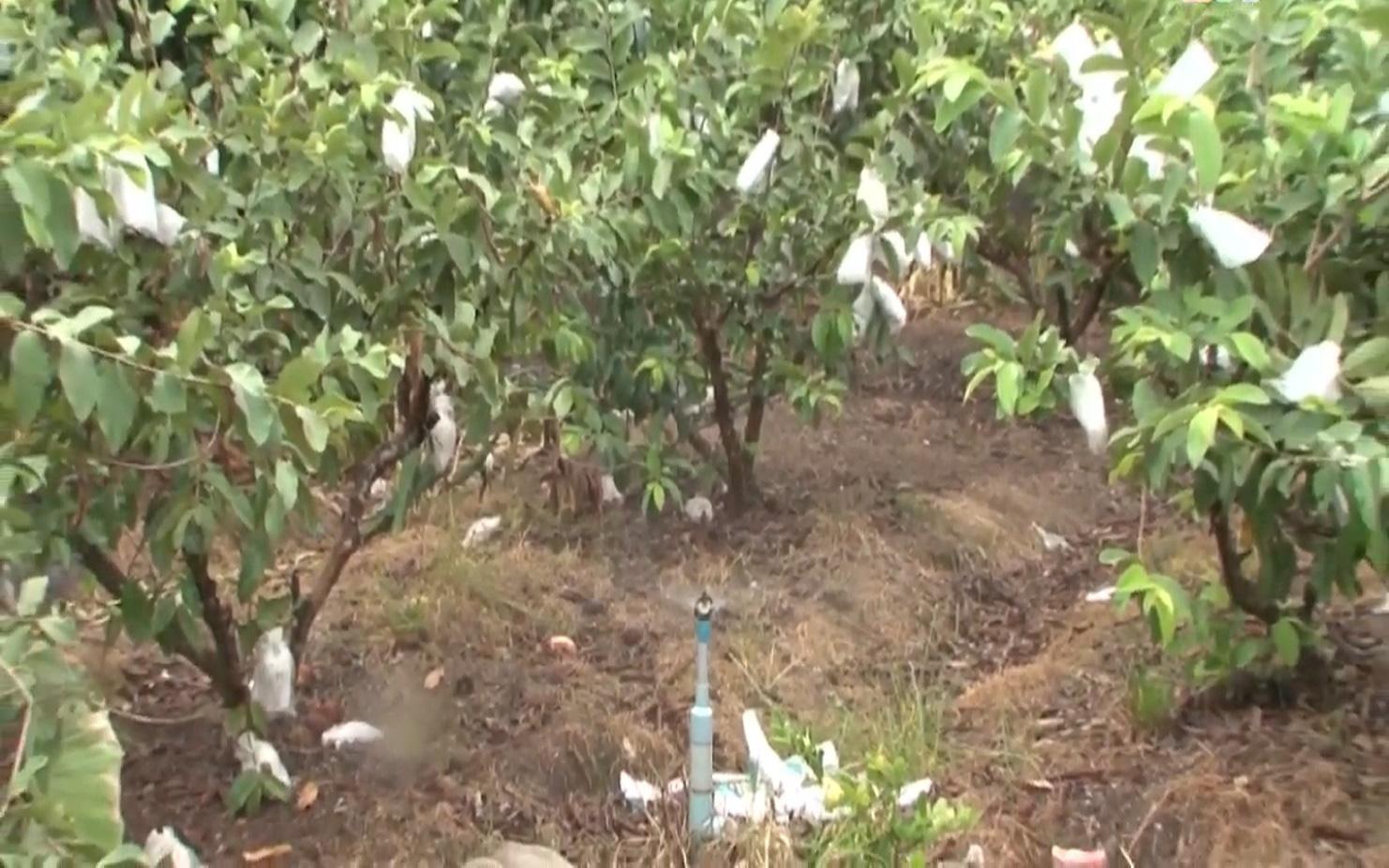 Anh nông dân trồng ổi theo quy trình VietGAP, vườn ổi ngày nào cũng sai trái hơn, đầu ra cũng ngày càng thuận lợi - Ảnh 6.