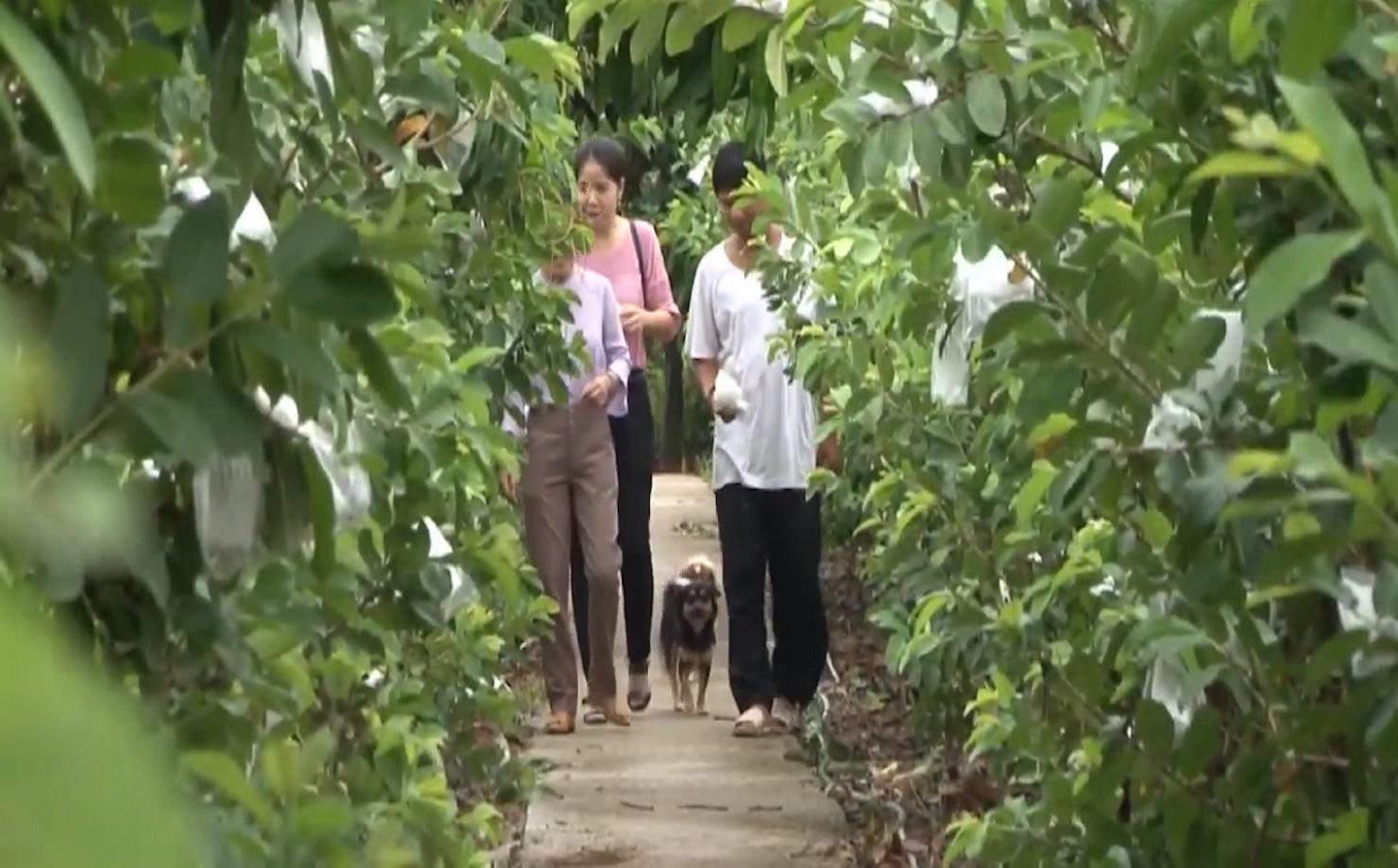 Anh nông dân trồng ổi theo quy trình VietGAP, vườn ổi ngày nào cũng sai trái hơn, đầu ra cũng ngày càng thuận lợi - Ảnh 9.