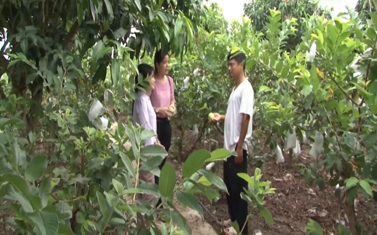 Anh nông dân trồng ổi theo quy trình VietGAP, vườn ổi ngày nào cũng sai trái hơn, đầu ra cũng ngày càng thuận lợi - Ảnh 10.