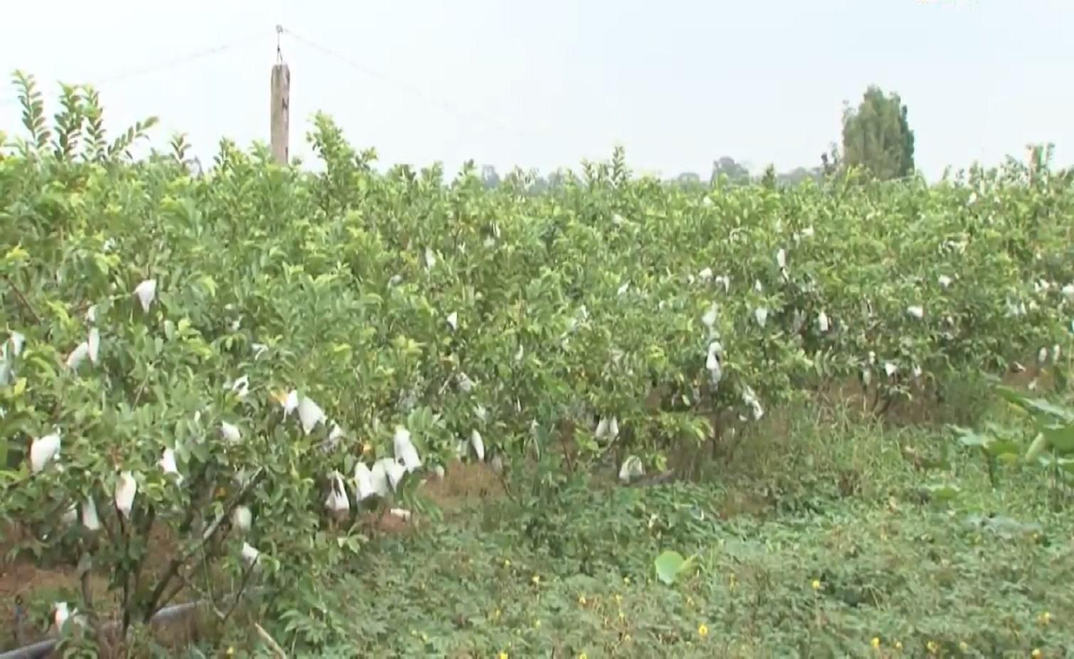 Anh nông dân trồng ổi theo quy trình VietGAP, vườn ổi ngày nào cũng sai trái hơn, đầu ra cũng ngày càng thuận lợi - Ảnh 12.