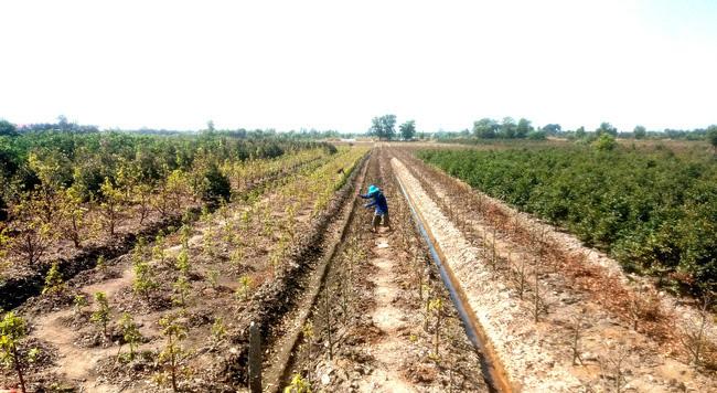 """Nông dân trồng mai vàng ứng dụng nông nghiệp công nghệ cao có cứu được cảnh """"chợ chiều 30 tết""""? - Ảnh 4."""