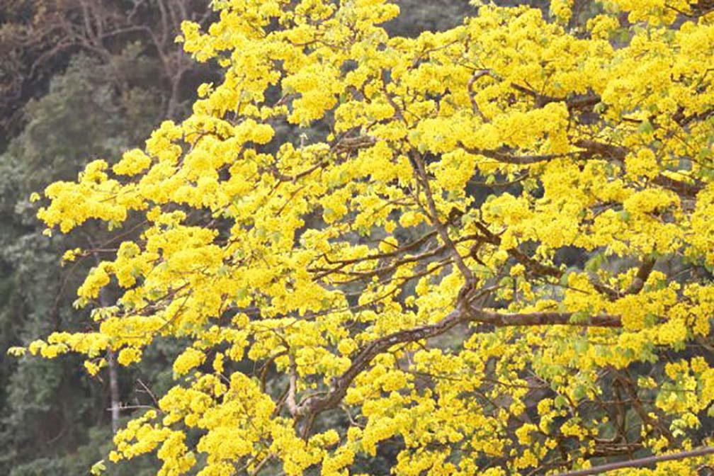 Đẹp mê mẩn trước sắc vàng rừng hoa mai và cây mai 700 tuổi tại chân núi Yên Tử - Ảnh 1.