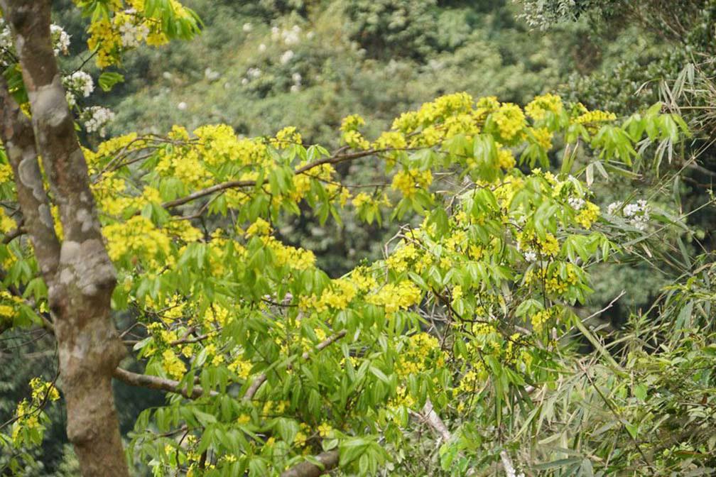 Đẹp mê mẩn trước sắc vàng rừng hoa mai và cây mai 700 tuổi tại chân núi Yên Tử - Ảnh 7.