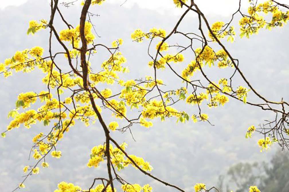 Đẹp mê mẩn trước sắc vàng rừng hoa mai và cây mai 700 tuổi tại chân núi Yên Tử - Ảnh 2.