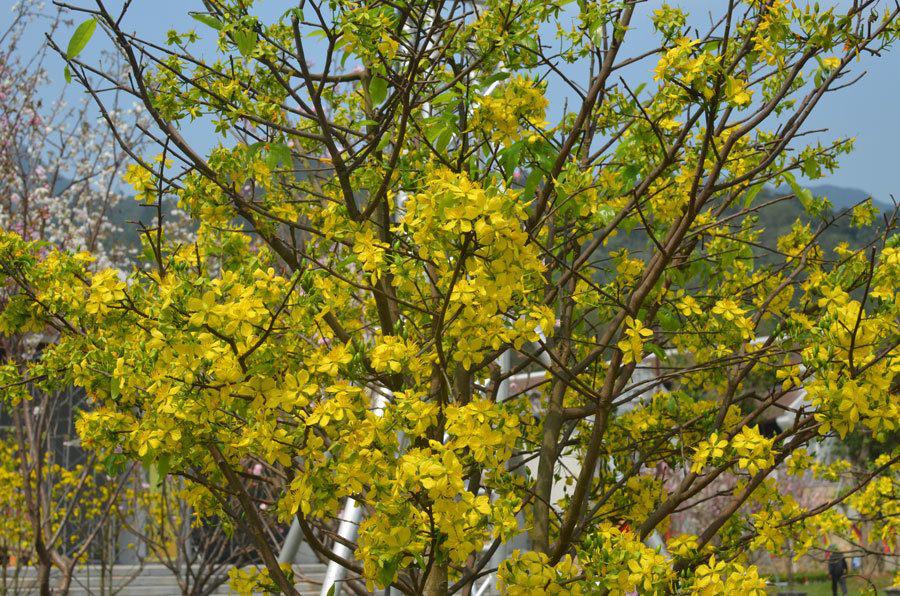Đẹp mê mẩn trước sắc vàng rừng hoa mai và cây mai 700 tuổi tại chân núi Yên Tử - Ảnh 9.