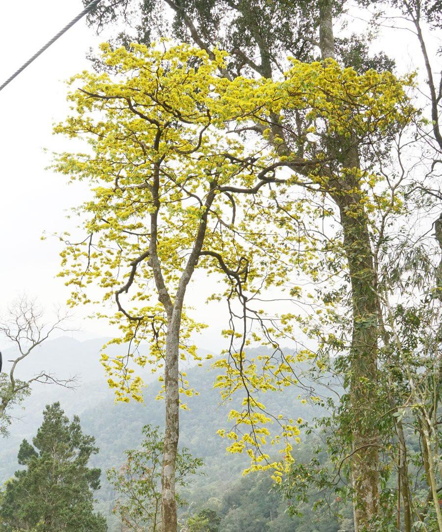 Đẹp mê mẩn trước sắc vàng rừng hoa mai và cây mai 700 tuổi tại chân núi Yên Tử - Ảnh 3.