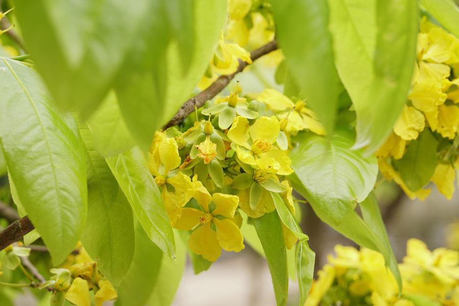 Đẹp mê mẩn trước sắc vàng rừng hoa mai và cây mai 700 tuổi tại chân núi Yên Tử - Ảnh 10.