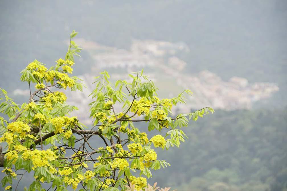 Đẹp mê mẩn trước sắc vàng rừng hoa mai và cây mai 700 tuổi tại chân núi Yên Tử - Ảnh 8.