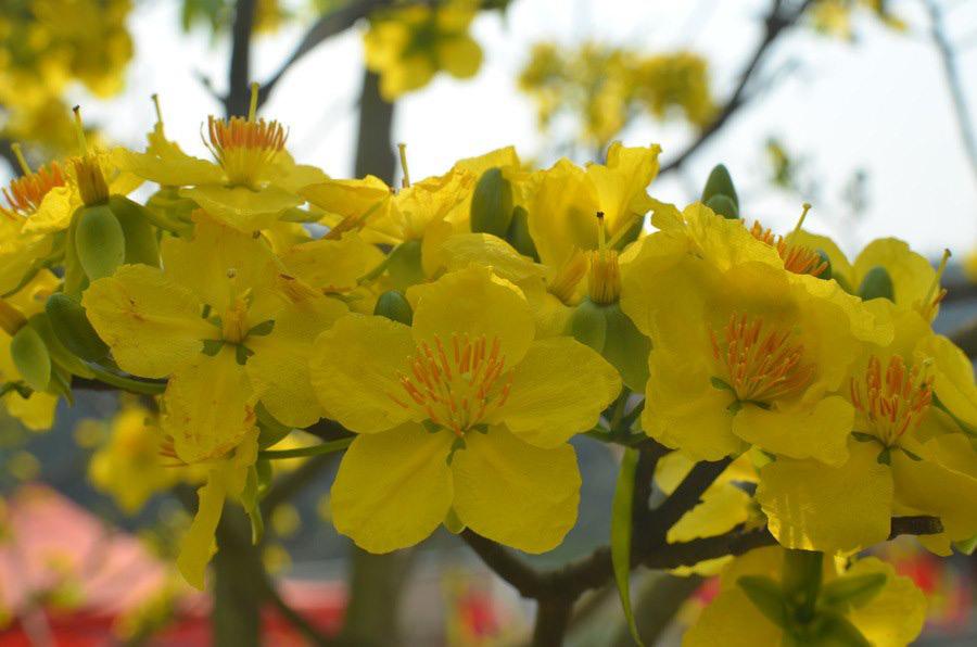 Đẹp mê mẩn trước sắc vàng rừng hoa mai và cây mai 700 tuổi tại chân núi Yên Tử - Ảnh 5.
