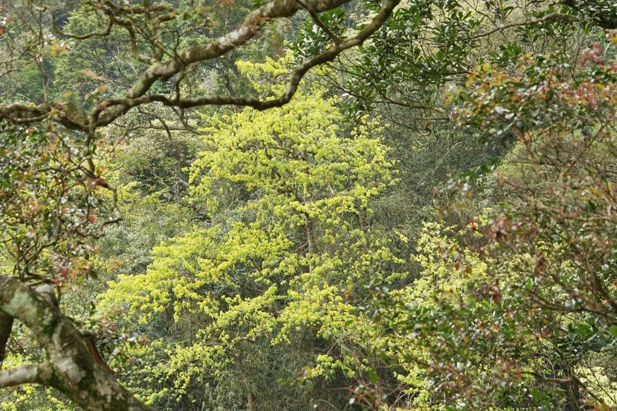 Đẹp mê mẩn trước sắc vàng rừng hoa mai và cây mai 700 tuổi tại chân núi Yên Tử - Ảnh 6.