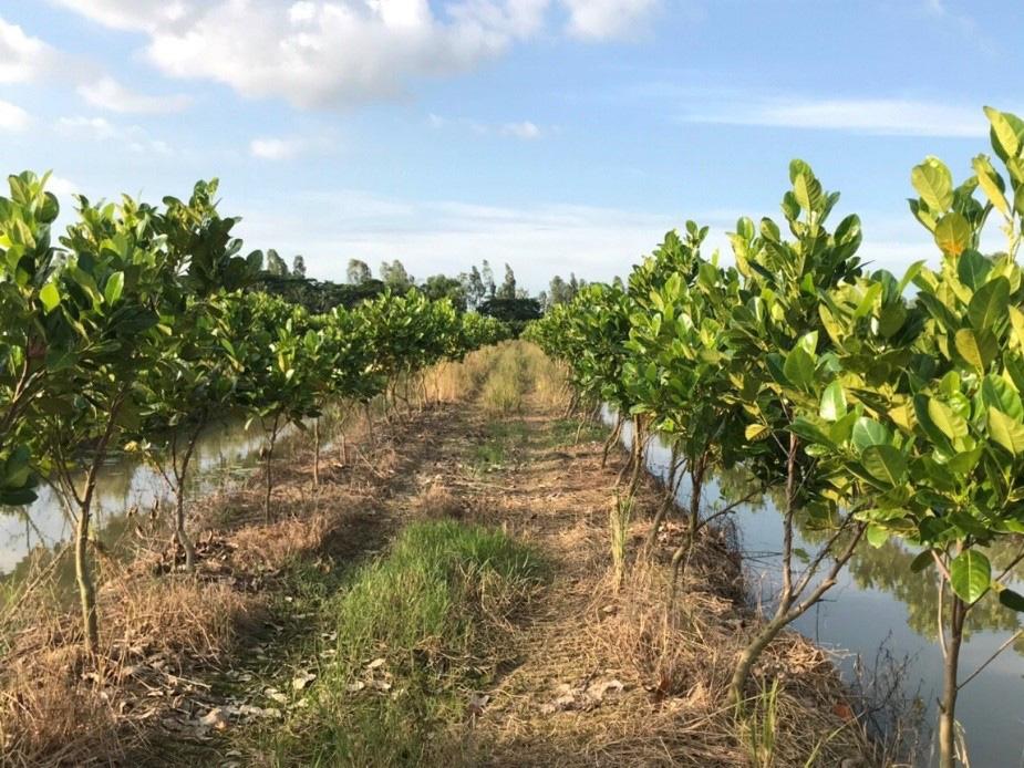 """Đổ xô trồng mít Thái, vì sao Cục Trồng trọt khẳng định không nên """"ác cảm"""" chuyện trồng - chặt? - Ảnh 4."""