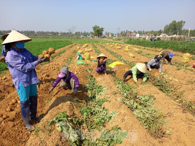 Khoai tây được mùa được giá, nông dân Nghệ An phấn khởi thu hoạch - Ảnh 3.
