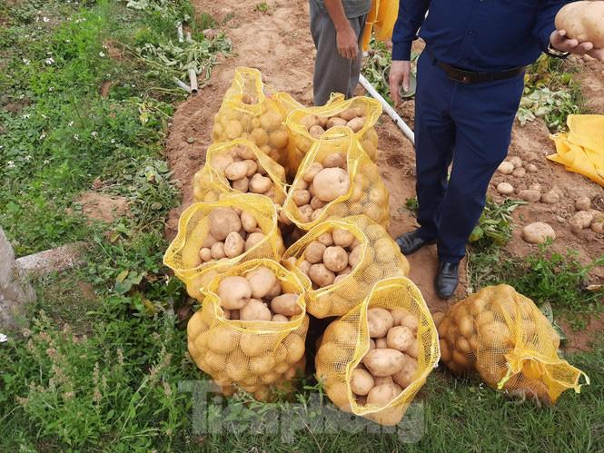 Khoai tây được mùa được giá, nông dân Nghệ An phấn khởi thu hoạch - Ảnh 4.