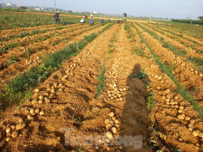Khoai tây được mùa được giá, nông dân Nghệ An phấn khởi thu hoạch - Ảnh 6.