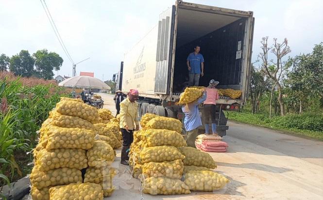 Khoai tây được mùa được giá, nông dân Nghệ An phấn khởi thu hoạch - Ảnh 7.