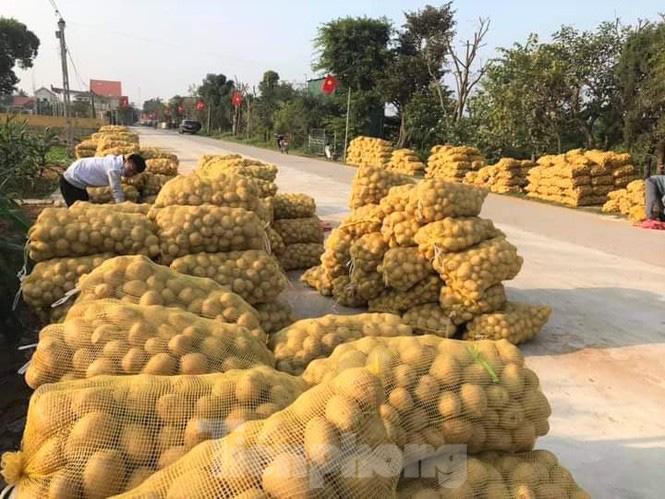 Khoai tây được mùa được giá, nông dân Nghệ An phấn khởi thu hoạch - Ảnh 8.