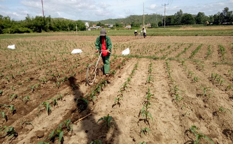 Phú Yên: Ăn 3 ngày tết xong nông dân đã tất tả ra đồng diệt loài sâu gì nghe tên nhiều người đã căm phẫn - Ảnh 1.