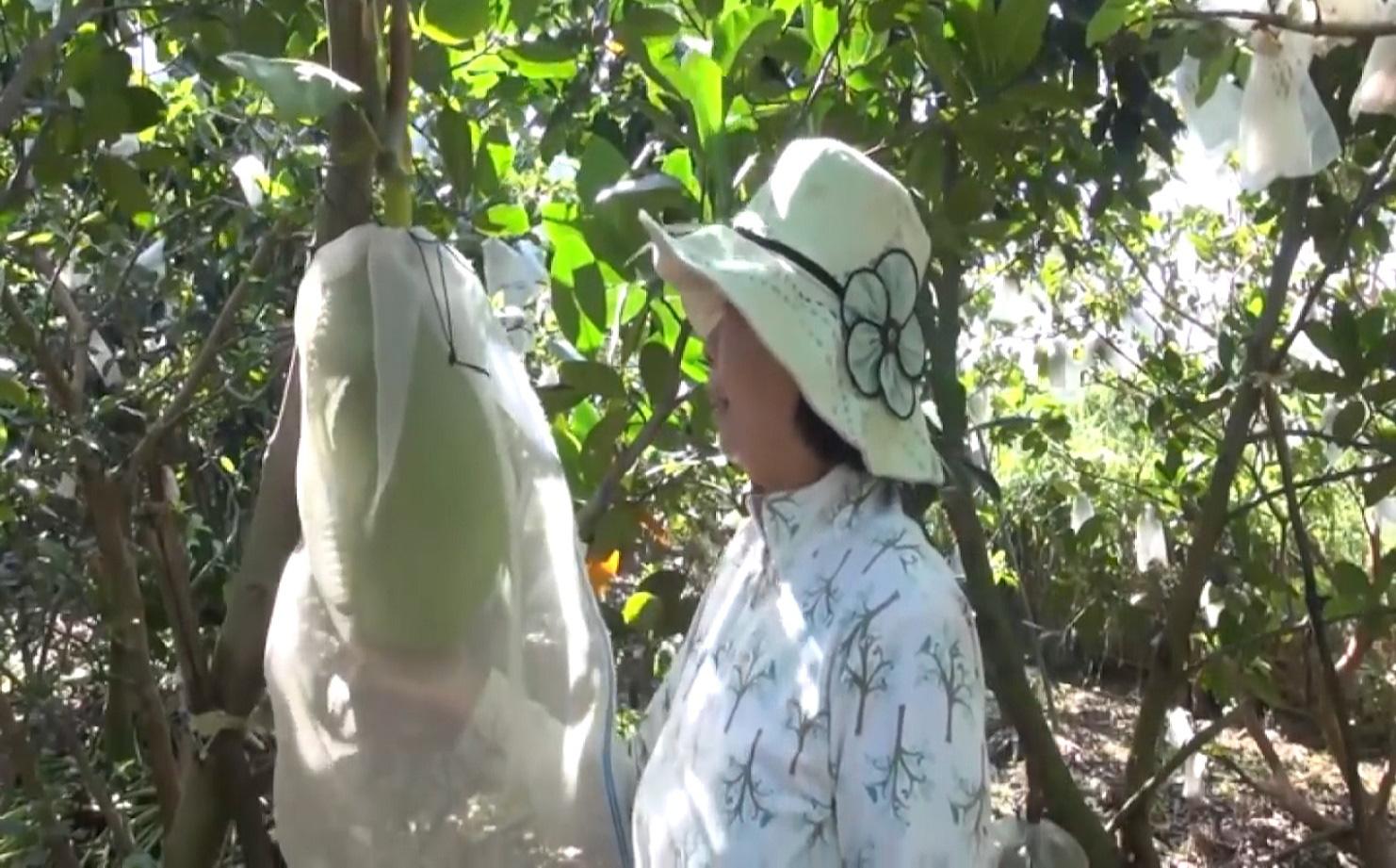 An Giang: Chuyển đổi trồng mít Thái siêu sớm, nhiều nông dân Tân Châu thoát nghèo, ổn định cuộc sống - Ảnh 3.