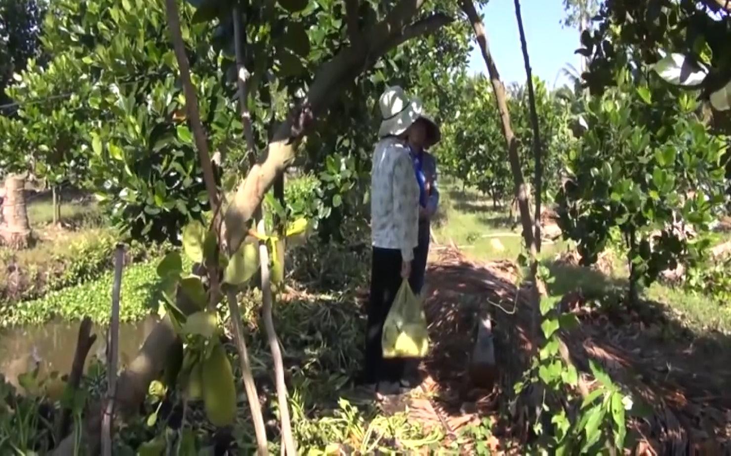 An Giang: Chuyển đổi trồng mít Thái siêu sớm, nhiều nông dân Tân Châu thoát nghèo, ổn định cuộc sống - Ảnh 4.
