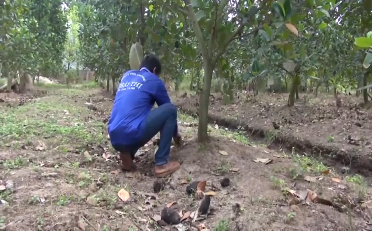 An Giang: Chuyển đổi trồng mít Thái siêu sớm, nhiều nông dân Tân Châu thoát nghèo, ổn định cuộc sống - Ảnh 5.