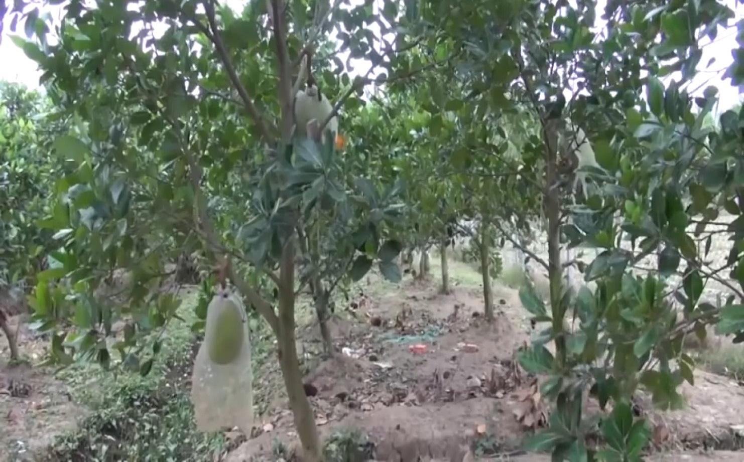 An Giang: Chuyển đổi trồng mít Thái siêu sớm, nhiều nông dân Tân Châu thoát nghèo, ổn định cuộc sống - Ảnh 7.
