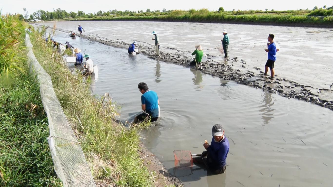 Kiên Giang: Bắt hàng tấn tôm càng xanh nuôi xen canh ruộng lúa, bất ngờ là bán tôm giá cao, nông dân trúng đậm - Ảnh 3.