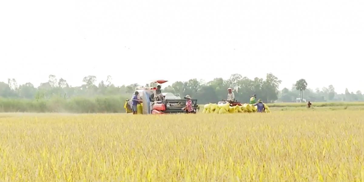 Giá lúa tăng cao, nông dân ĐBSCL thu lời gấp 2-3 lần năm ngoái - Ảnh 1.