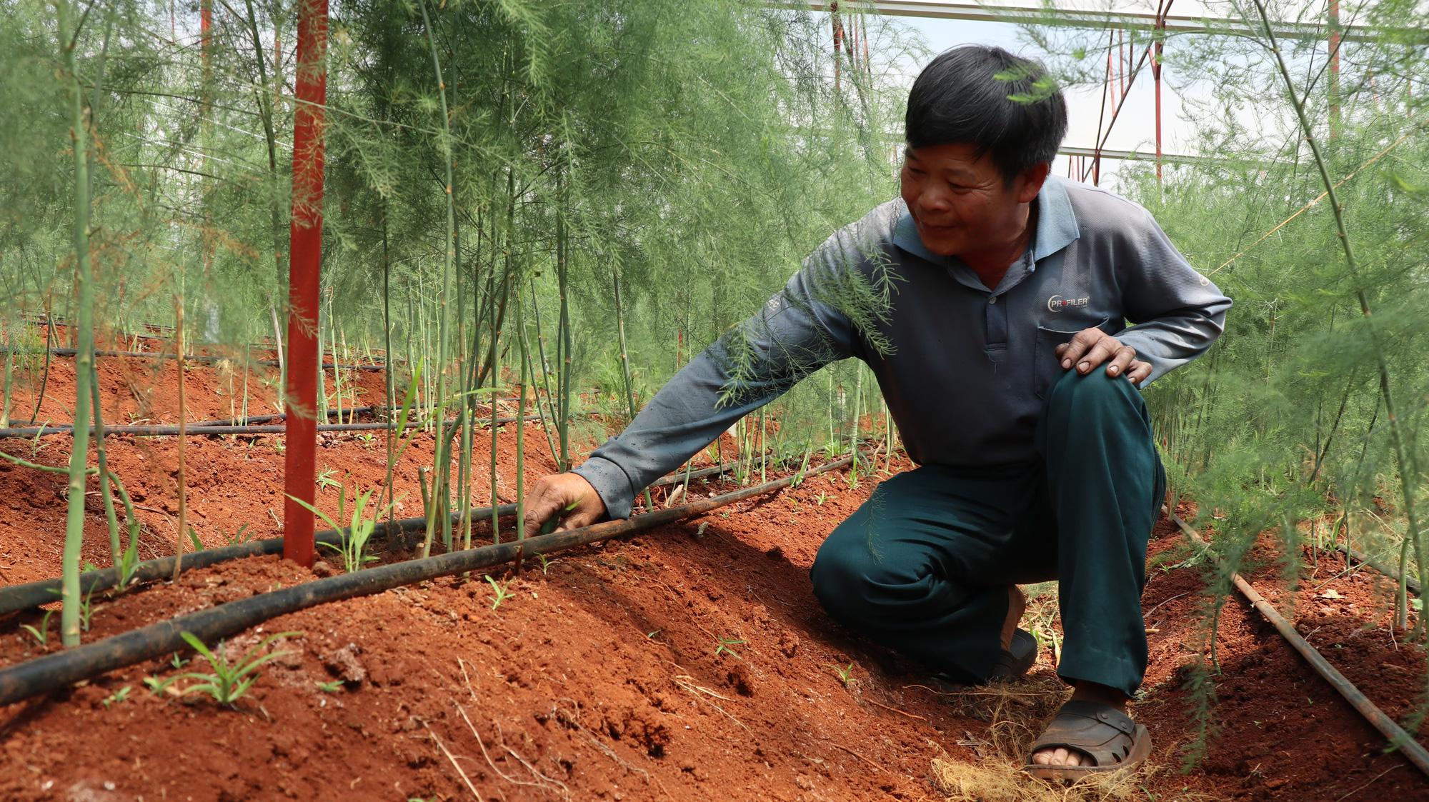 Đánh liều phá cà phê trồng măng tây, mỗi ngày thu 400kg, bán cho thương lái 60.000 đồng/kg - Ảnh 2.