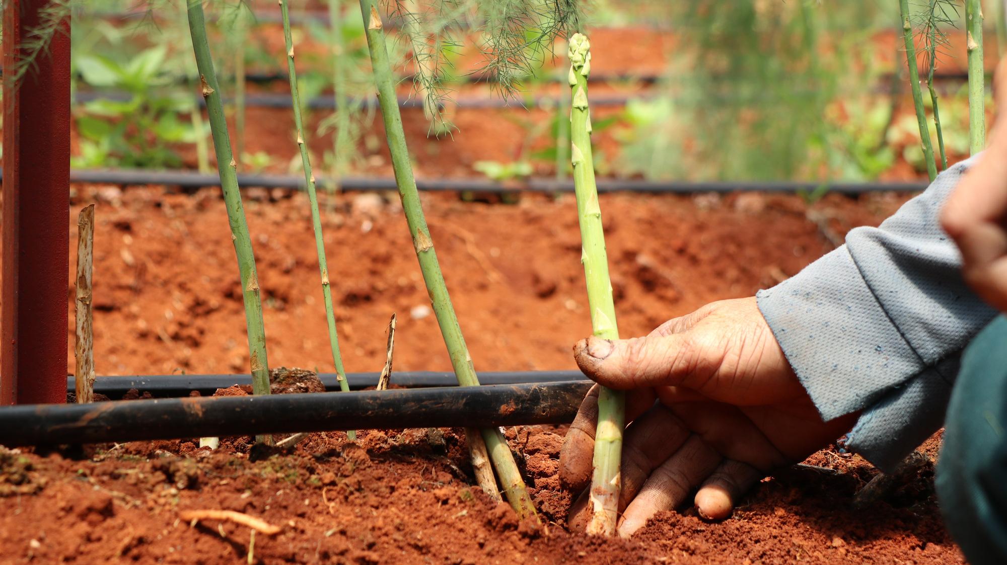 Đánh liều phá cà phê trồng măng tây, mỗi ngày thu 400kg, bán cho thương lái 60.000 đồng/kg - Ảnh 3.
