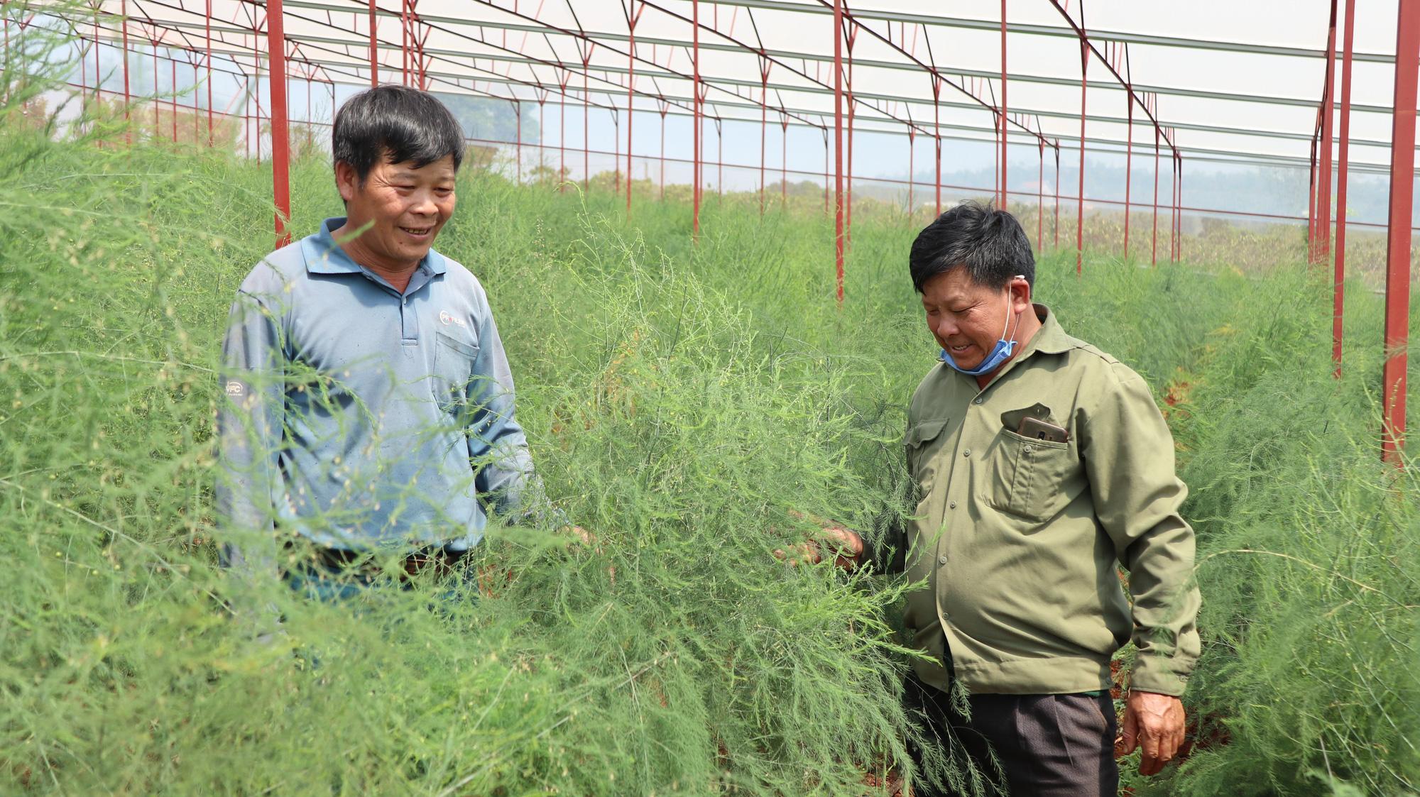 Đánh liều phá cà phê trồng măng tây, mỗi ngày thu 400kg, bán cho thương lái 60.000 đồng/kg - Ảnh 4.