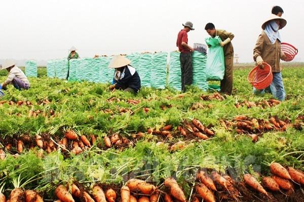 Từ 4/3, Hàn Quốc nhập khẩu cà rốt của Hải Dương trở lại - Ảnh 1.