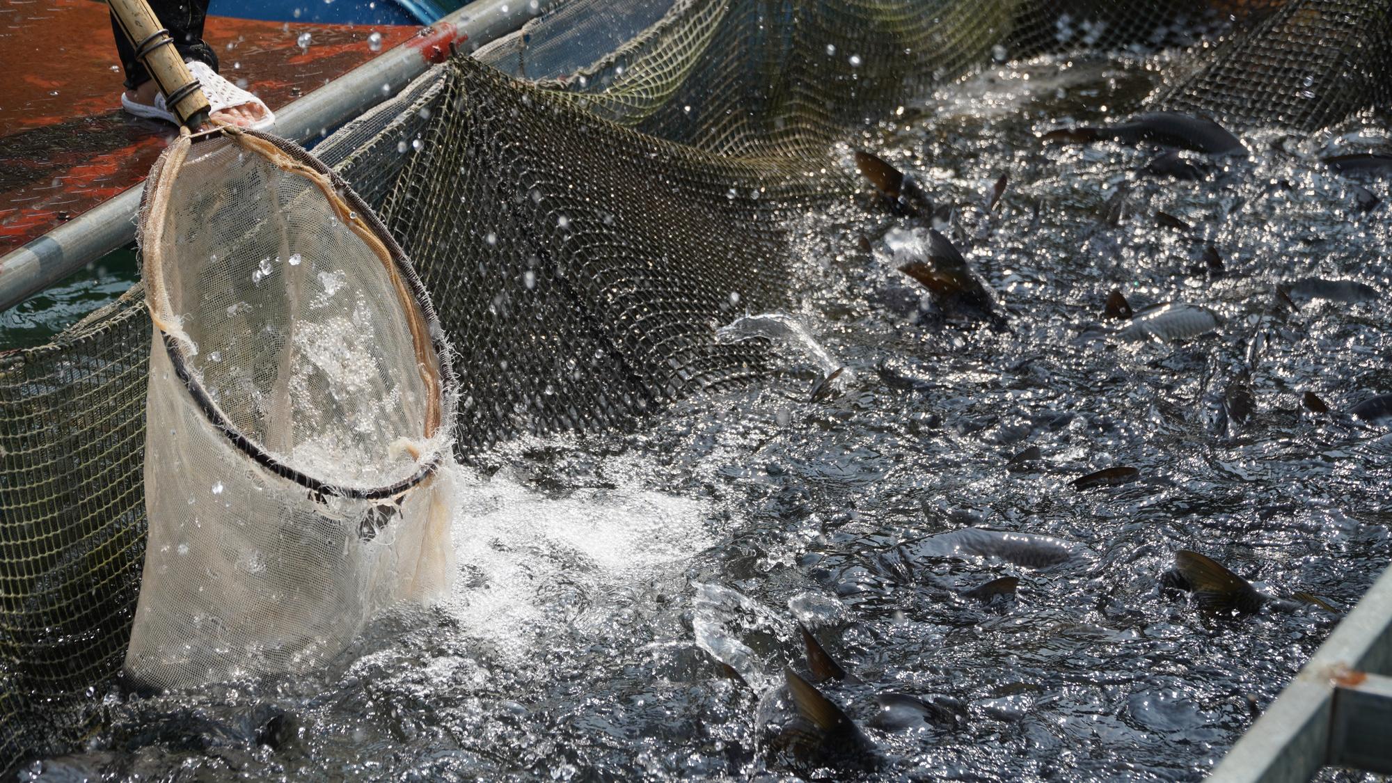 Thu 40 tỷ nhờ nuôi cá đặc sản trên lòng hồ  - Ảnh 3.