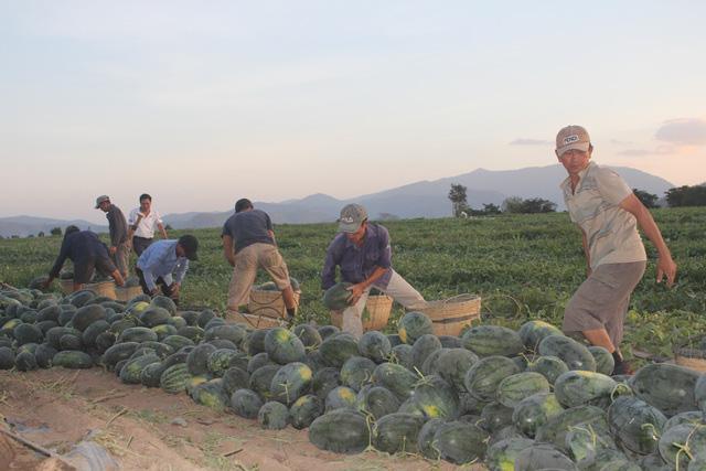 Nông dân vùng dịch Covid-19 phấn khởi vì dưa hấu tăng giá trở lại  - Ảnh 3.