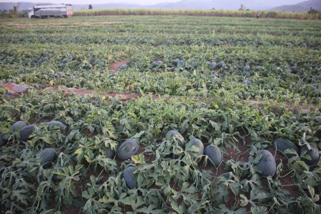 Nông dân vùng dịch Covid-19 phấn khởi vì dưa hấu tăng giá trở lại  - Ảnh 1.