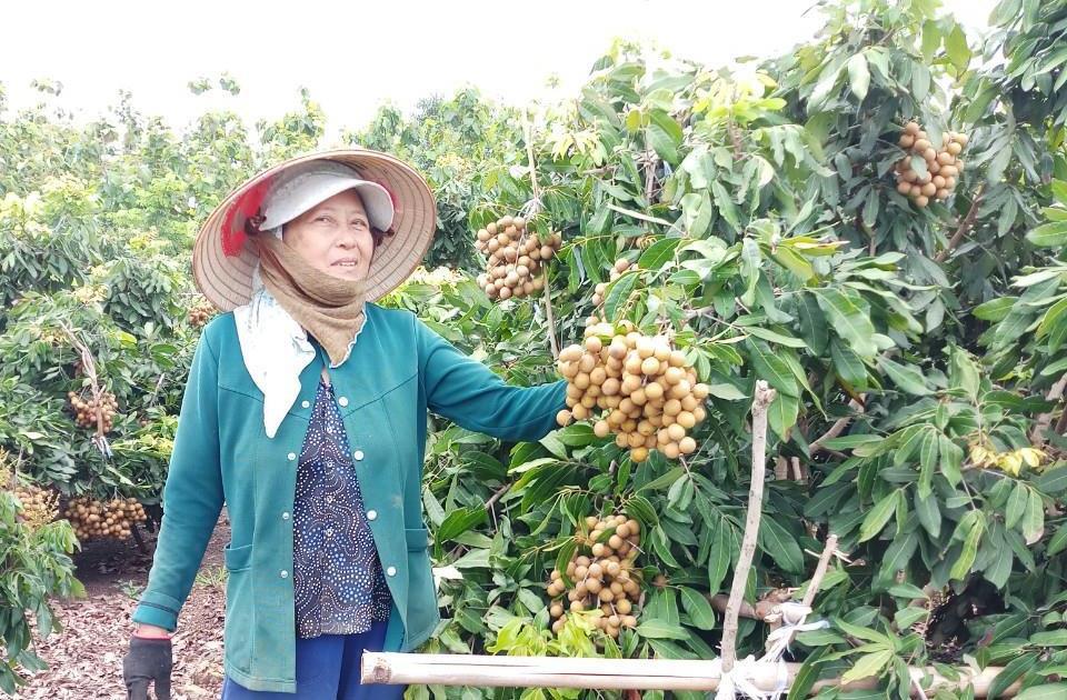 Đắk Nông: Tuyệt chiêu trồng thứ cây thích cho ra trái lúc nào cũng được, một ông nông dân thu 400 triệu/năm - Ảnh 1.
