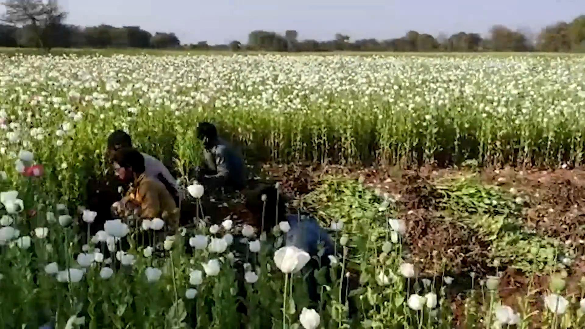 Ấn Độ: Phát hiện trang trại trồng cây thuốc phiện bất hợp pháp trị giá 54.000$ USA - Ảnh 2.