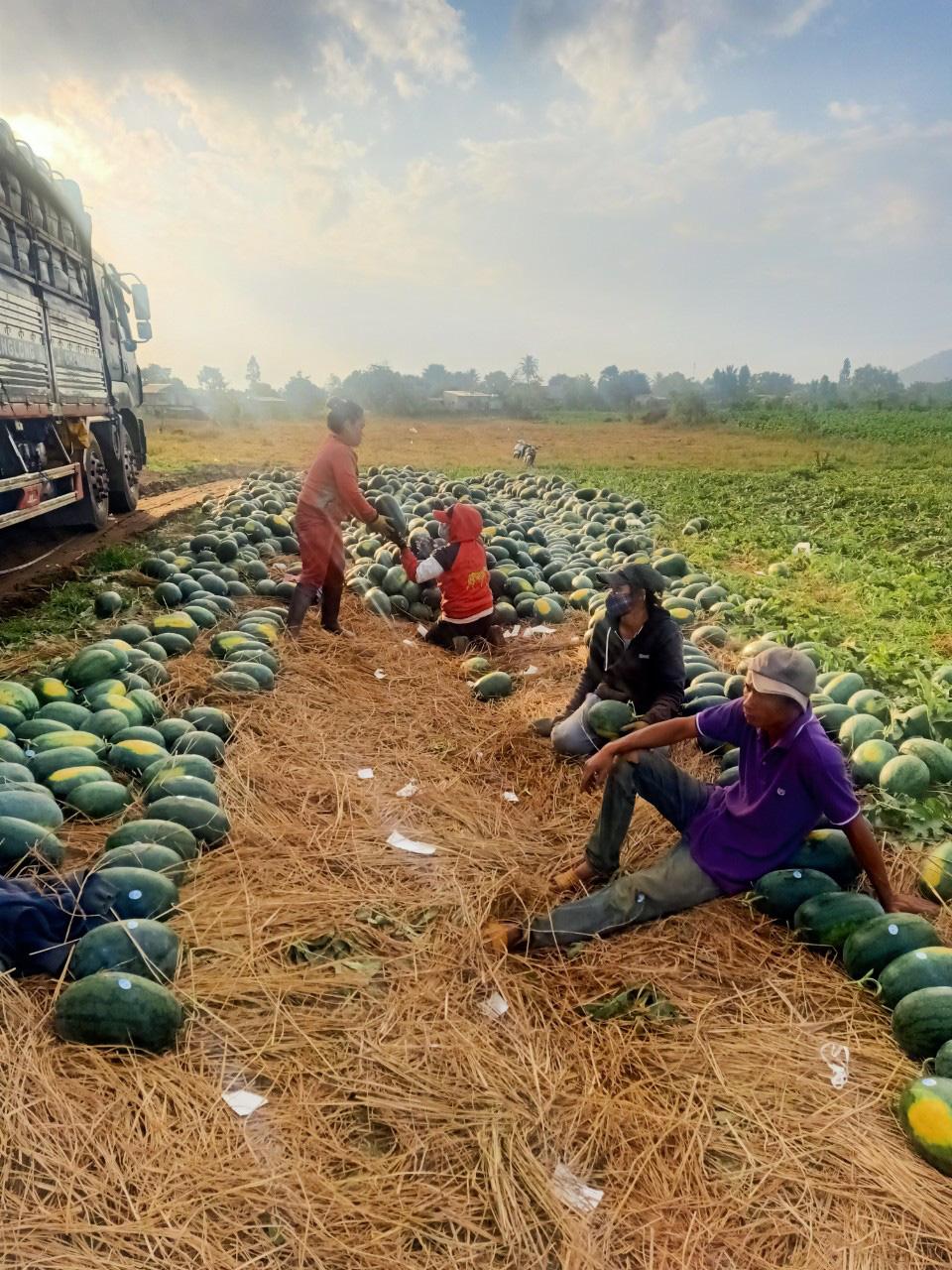 Nông dân vùng dịch Covid-19 phấn khởi vì dưa hấu tăng giá trở lại  - Ảnh 2.