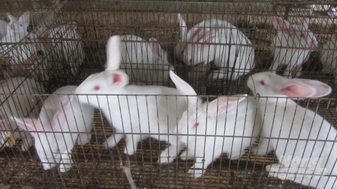 Kinh nghiệm nuôi 3.000 thỏ lãi 700 triệu đồng/năm - Ảnh 2.