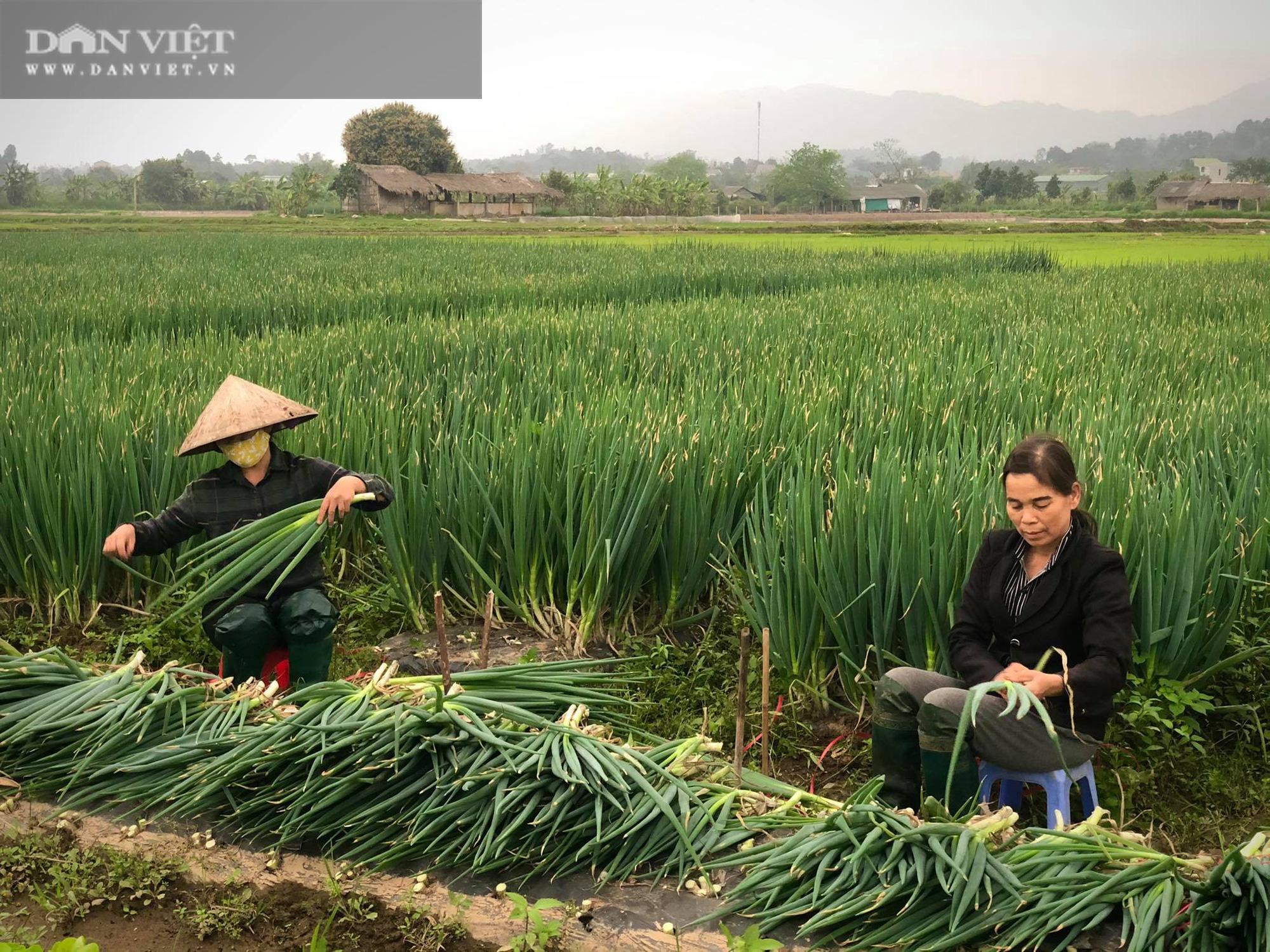 Phú Thọ: Được doanh nghiệp giải cứu, người trồng hành phấn khởi ra đồng thu hoạch mặc gió lạnh - Ảnh 3.