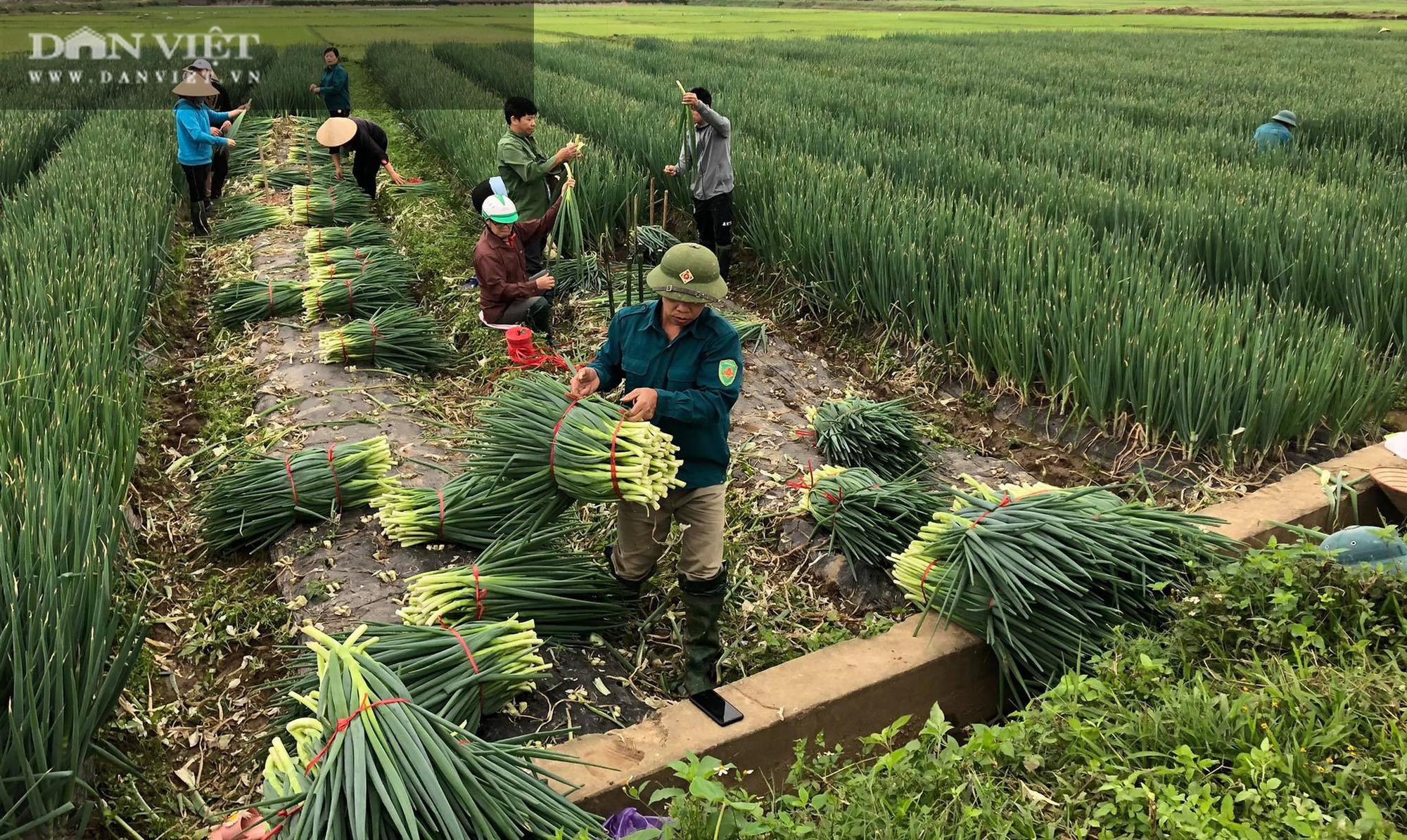 Phú Thọ: Được doanh nghiệp giải cứu, người trồng hành phấn khởi ra đồng thu hoạch mặc gió lạnh - Ảnh 1.