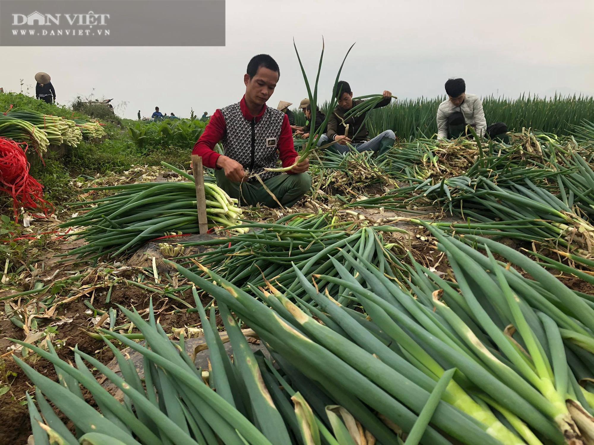 Phú Thọ: Được doanh nghiệp giải cứu, người trồng hành phấn khởi ra đồng thu hoạch mặc gió lạnh - Ảnh 4.